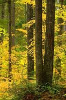Vine maple (Acer circinatum) with Douglas fir, Willamette National Forest, Oregon.