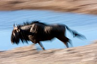 Blue wildebeest (Connochaetes taurinus), Etosha National Park, Namibia.