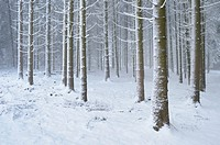 Landscape of a forest with Norway Spruces (Picea abies) in winter, Germany.