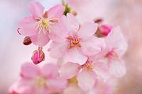Cherry Blossoms, Shikishima Park, Gunma Prefecture, Japan.