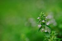 Creeping Thyme Flower