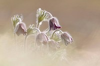 Mountain Pasque Flower (Pulsatilla montana), South Tyrol, Italy