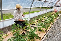 Canada, British Columbia, Horse Lake Community Farm, greenhouse, tomato plants, organic farming,
