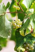 Vineyards of Cariñena in autumn, Aragon, Spain.