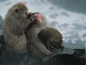 Japanese Macaques cleaning themselves