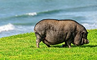 Pot Bellied pig roaming on the grass at Law Street Park. Pacific Beach, San Diego, California, United States.