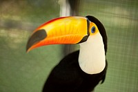 Close-up shot of a toucan in a cage at the zoo, Surat Thani, Koh Samui, Surat Thani Province, Thailand, Asia.