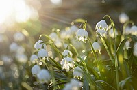 Landscape of Spring Snowflake (Leucojum vernum) blossoms in a forest on a sunny evening in spring.