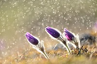 A group of Pulsatilla (Pulsatilla vulgaris) blooms in the grassland on a rainy evening in early spring, Bavaria, Germany.