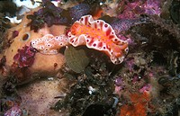 Nudibranch (Ceratosoma brevicaudatum), feeding on sponge on a rock wall. Pearson Island, South Australia