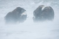 Two Musk Oxen or Muskoxen (Ovibos moschatus), fighting during a snow storm, Dovrefjell–Sunndalsfjella National Park, Norway