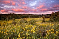 A Field of Goldenrod during a spectacular sunset at Rogers Reservoir, East Gwillimbury, Ontario, Canada.