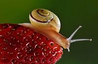 Garden snail, Cepaea nemoralis, on strawberry, Italy