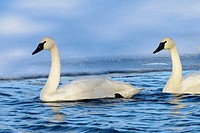 Trumpeter swans on ice covered Blue Lake in Shakopee, Minnesota.