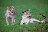 African Lion (Panthera leo) - Youngs, in rainy season, Kgalagadi Transfrontier Park, Kalahari desert, South Africa.