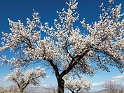 Cultivated almond trees (Prunus dulcis) in full blossom in February. Almería province, Andalusia, Spain.