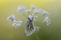 Germany, Green-veined white butterfly, Pieris napi, sitting on floer