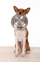Basenji. Bitch sitting while carrying a feeding bowl in her snout. Studio picture against a white background