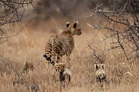 cheetah (Acinonyx jubatus), mother with youngs, Kenya, Buffalo Springs National Reserve, Samburu, Isiolo