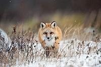 """Red fox (Vulpes vulpes) walking towards in snow, Churchill, Canada. Winner """"""""arret sur Image"""""""" festival Montier-en-Der, 2010."""