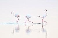 Greater Flamingo (Phoenicopterus roseus) chasing away rival ( Winner 2011; Grand Prix, Festival de l´Oiseau et de la Nature Baie de Somme).