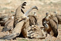 Griffon Vulture (Gyps fulvus) fighting on the ground.