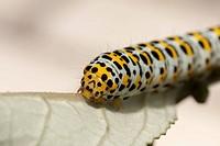 Caterpillar of the figwort (Scrophularia)