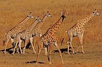Herd of giraffe on dried pan, Hwange, Zimbabwe, Africa