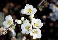 Flowering quince white, Japanese quince white or mugua white (Chaenomeles mugua), Rosaceae.