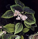 Friendship Plant (Pilea involucrata Moon Valley), Urticaceae.