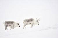 Two Reindeer (Rangifer tarandus) walking through snowy landscape, Spitsbergen (Svalbard).