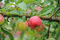 apple tree (Malus domestica 'Gravensteiner', Malus domestica 'Gravensteiner'), cultivar Gravensteiner