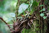 Guatemala, Alta Verapaz, Wild Orchids.