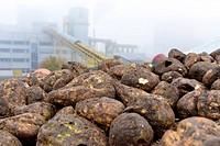 Conveyor belt with sugar beets at a sugar mill