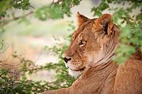 close up of a female lion (Panthera leo) Kgalagadi Transfrontier Park, Kalahari, South Africa, Botswana, Africa - Kgalagadi Transfrontier Park, South ...