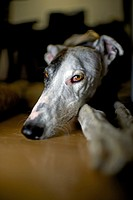 Interior portrait of adult Spanish Greyhound.