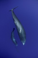 Female sperm whale, Physeter macrocephalus, Vulnerable (IUCN) with calf, Dominica, Caribbean Sea, Atlantic Ocean. Photo taken under permit.