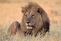 African lion (Panthera leo) - Male, Savuti, Chobe National Park, Botswana.