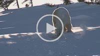 Polar Bear (Ursus maritimus) female walking outside of den and cub hiding under her