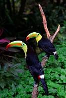 Colorful Pet Toucan Bird in Copan, Honduras, Central America.
