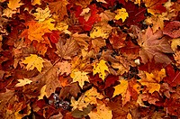 Red and yellow colored leaves that have fallen from the deciduous trees in New Brunswick Canada.