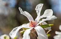 A close up of a Magnolia stellata flower in full bloom.