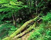 Poland. Bieszczady Mountains. The forest.