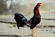 Cute chicken in Baracoa, Cuba.