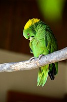 a green macaw in Guatemala, Central America.