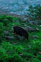 wild boar in The Sun Temple
