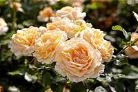 Rosa Carl Nielsen
