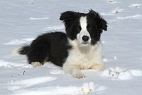 Border Collie Puppy in the snow