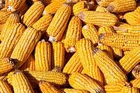 Corn cobs drying in the sun.