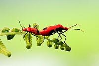 Boxelder Bug, true bug, matting, borneo